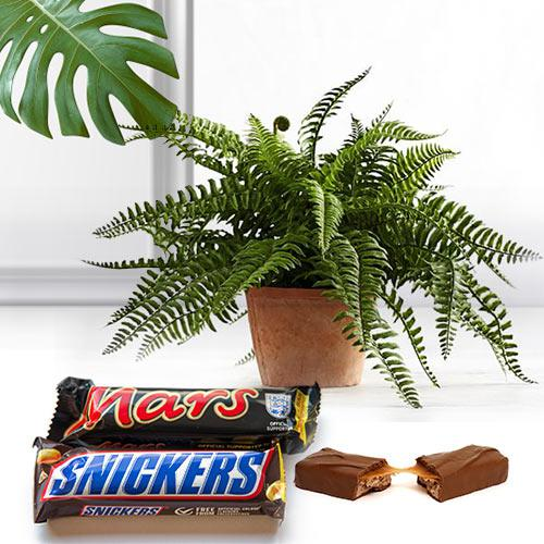 Aesthetic Air Purifier Indoor Plant with Chocolates