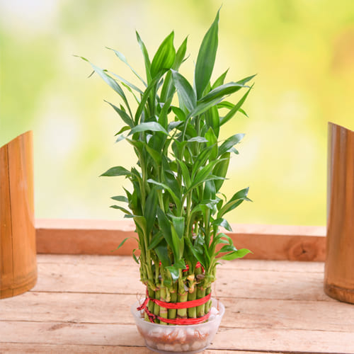 Aesthetic Selection of 2 Tier Lucky Bamboo Plant in Glass Pot