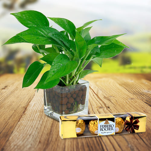 Delightful Selection of Ferrero Rocher Chocolates with Money Plant in a Glass Vase