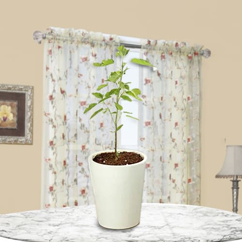 Marvelous Gift of Holy Tulsi Plant in Glass Pot