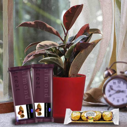 Good Luck Rubber Plant N Chocolate Gift Pack