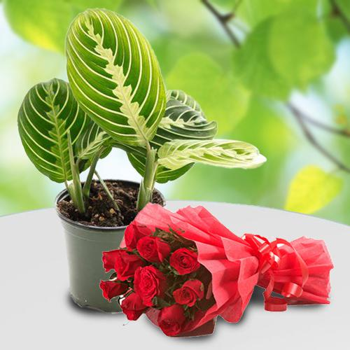 Evergreen Combo of Maranta Live Plant with Rose Bouquet